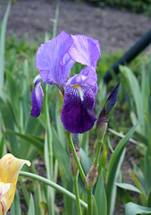 Iris germanica-001