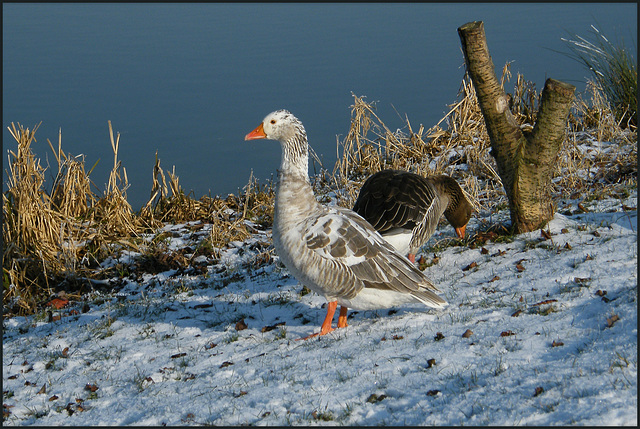 greylag geese in winter