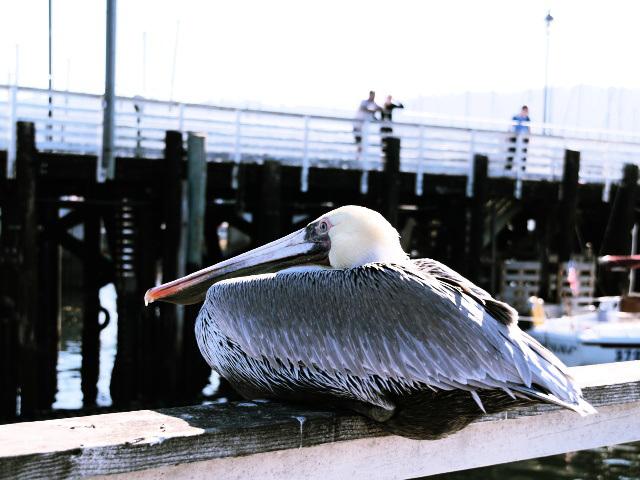 Pelican (pb048688)
