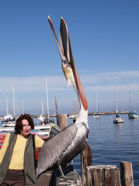 Pelican (pb048698)