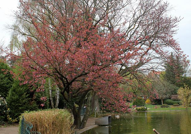 Prunus serrulata Kansan