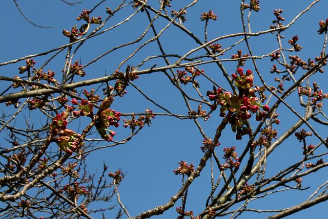 Prunus serrulata (3)