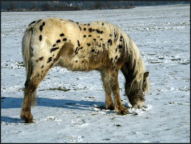 dappled pony in the snow