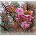 Prunus serrulata (4)