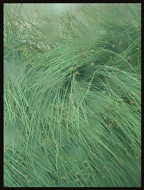 bent grass