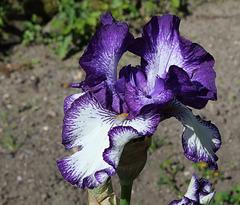 Iris 'Art Deco' (5)