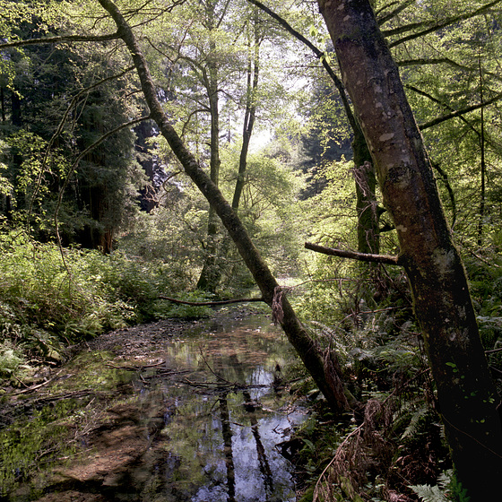Peaceful Redwood Creek