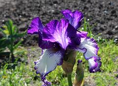 Iris 'Art Deco' (6)