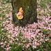 Sulfur Shelf on Cherry Tree in Spring