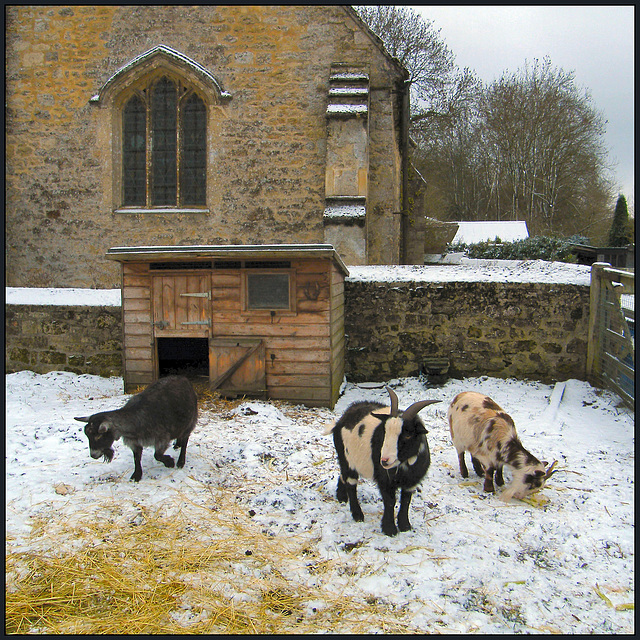 one, two, three goats in the snow