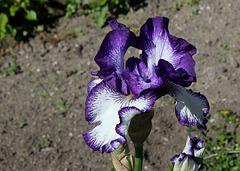 Iris 'Art Deco' (7)