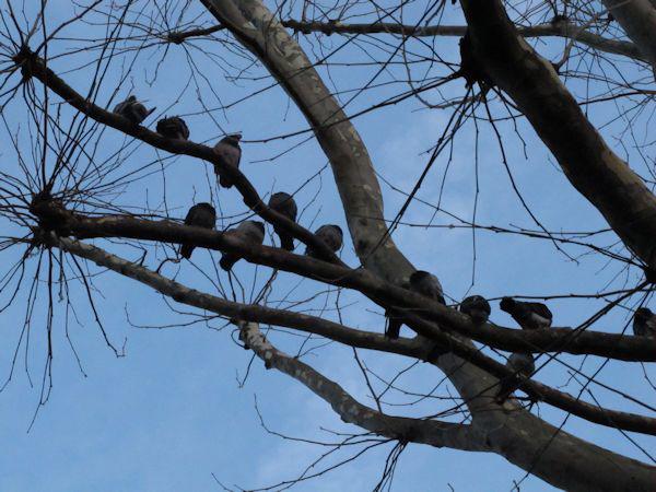 Pigeon line-up