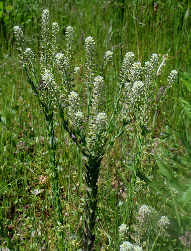 Lepidium campestre- Passerage des champs (3)