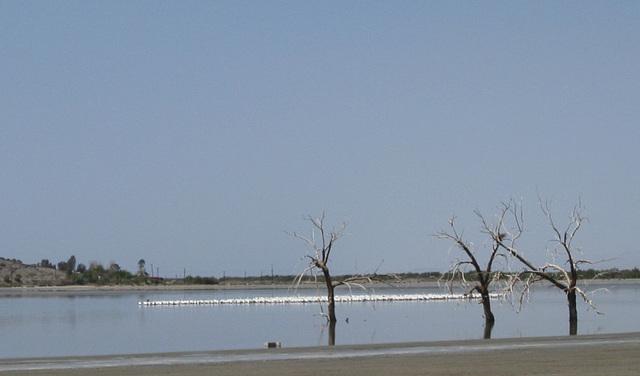 Salton Sea Red Hill Marina Pelicans (0847a)