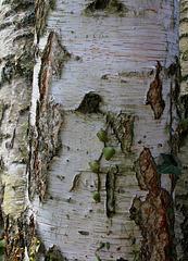 Betula alba - Ecorce