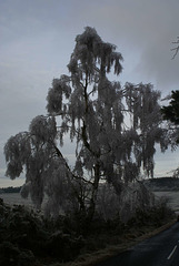 gbww - frosty silverbirch