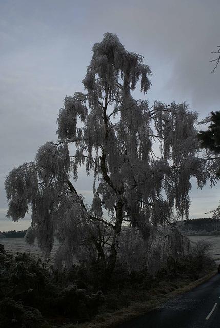 gbww - frosty silverbirch