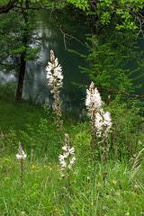 Asphodelus albus, asphodèle blanc (Liliacées, ou Asphodélacées), Lot, France