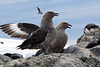 Skuas Again!