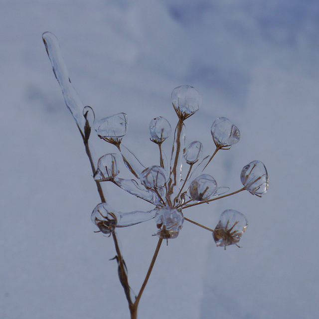 Eisblume / Ice flower