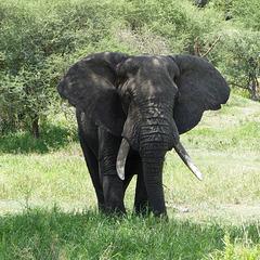 Eléphant de Tanzanie