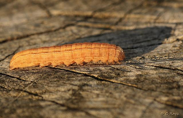 Unknown Noctuidae Caterpillar Side