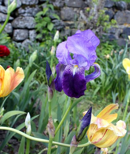 Iris germanica-003