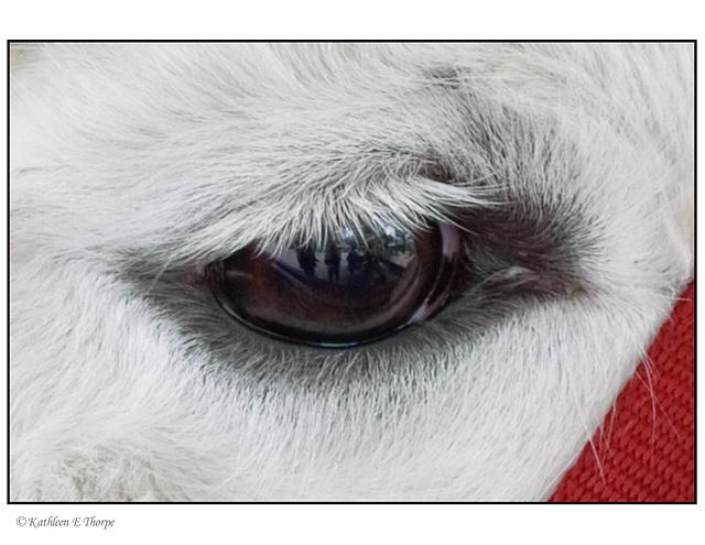 Llama eye with reflection