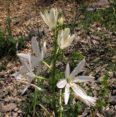 Anthericum liliago = Phalangère (Liliacées) (Lot, France)