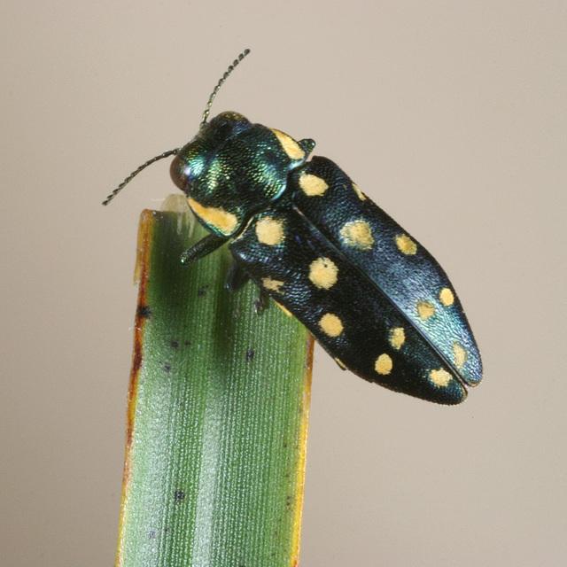 Diphucrania duodecimmaculata, PL0414
