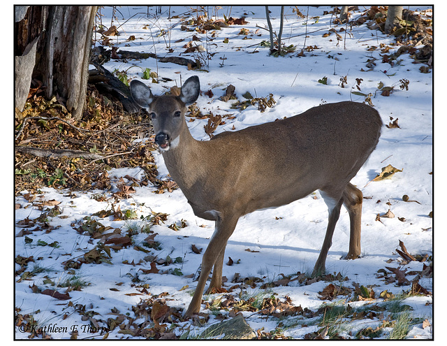 Snow Deer and Chestnuts