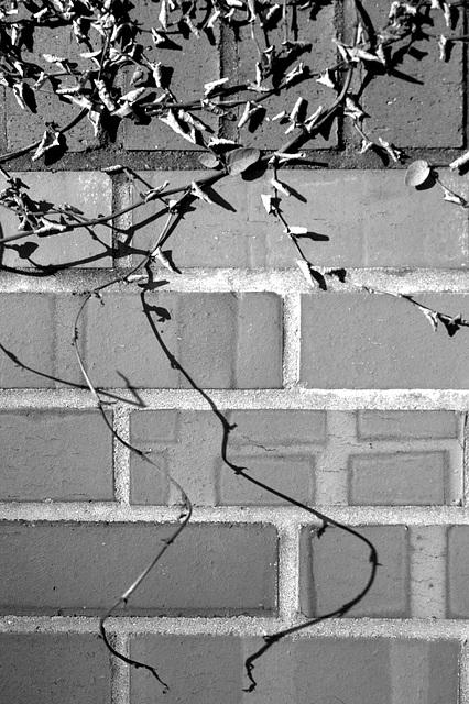 Vine shadow