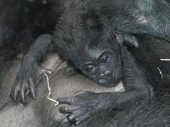 Baby Mawenzi (Wilhelma)