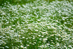 A sea of daisies........