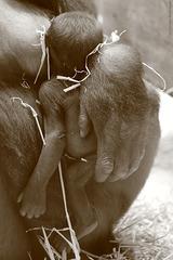Gorillababy Mawenzi (Wilhelma)