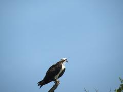 Osprey ..