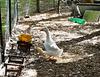 Pekin duck and duckling