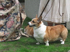 Corgis at St. David's Day Festival, Barnsdall Art Park