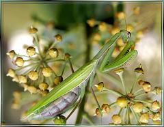Europäischen Gottesanbeterin (Mantis religiosa) ©UdoSm
