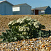 Sea Kale in Bloom