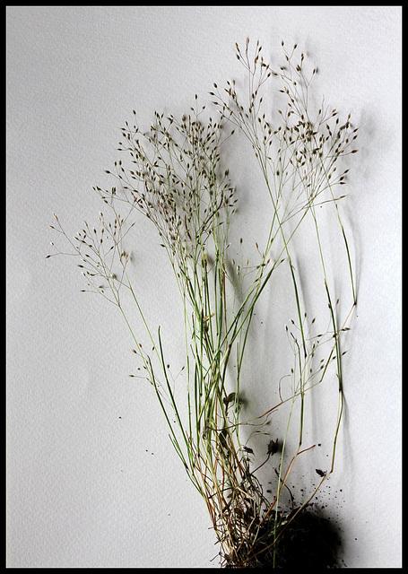 Aira caryophyllea subsp caryophyllea (4)