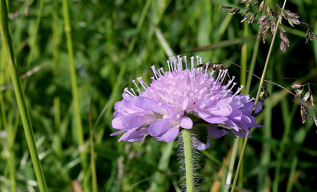 Knautia arvernensis (3)