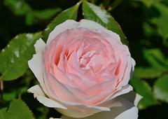 Au festival des roses d'Estavayer-le-Lac...