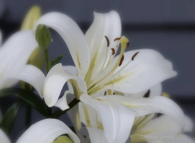A Lily For Lily