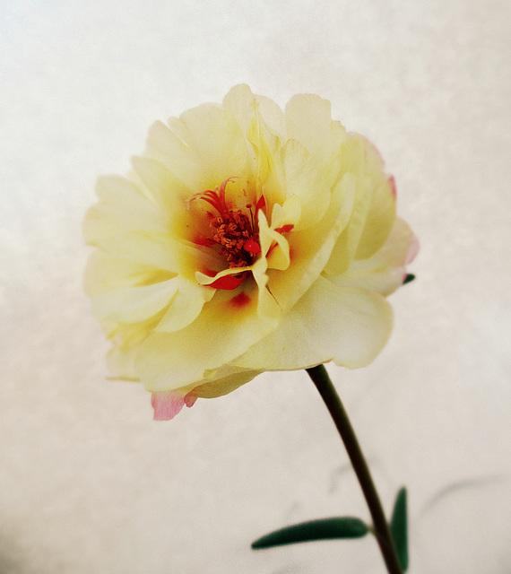 Il fiore del sole