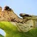 Oakl Leaf-miner Moth