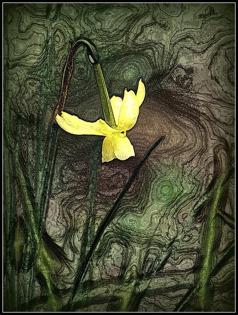 daffodil funk