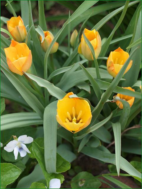 wee tulips