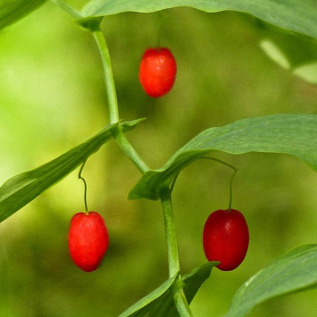 Claspleaf twistedstalk berries