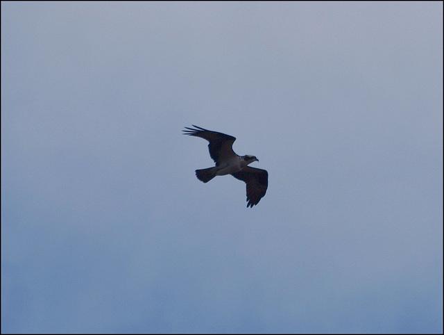 osprey!